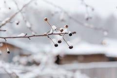 Les petites pommes surgelées Petites pommes sous la neige Photographie stock libre de droits