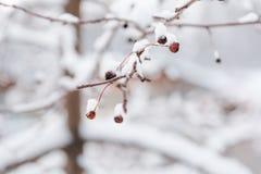 Les petites pommes surgelées Petites pommes sous la neige Photographie stock