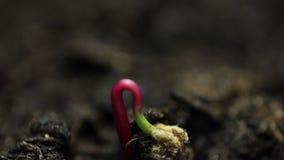 Les petites usines s'élevant dans la Temps-faute d'agriculture de serre chaude pousse la germination banque de vidéos