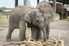 Les petits éléphants jouent photographie stock