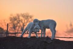 Les petits agneaux nouveau-nés dans le printemps dans le coucher du soleil s'allument Photos libres de droits