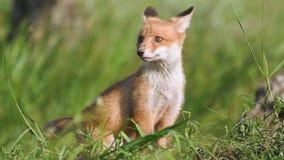 Les petits animaux mignons de renard rouge se repose dans l'herbe et les regards autour Vulpes banque de vidéos