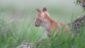 Les petits animaux mignons de renard rouge se repose dans la pierre et puis part du cadre Vulpes clips vidéos