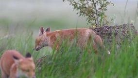 Les petits animaux mignons de renard rouge se tient sur une pierre dans l'herbe et les regards autour Vulpes banque de vidéos