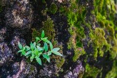Les petits arbres se développent sur la roche avec de la mousse Photos stock