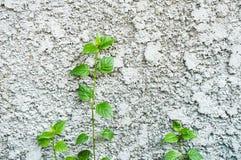 Les petits arbres se développent sur le mur en béton Photos libres de droits