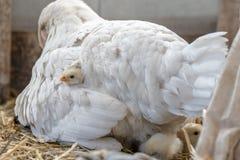 Les petits beaux poulets mignons se trouvent sous leur poulet du ` s de mère photo libre de droits
