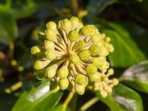 Les petits bourgeon floraux verts croissants se ferment vers le haut de l'extérieur Photos libres de droits