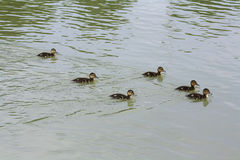 Les petits canards Photographie stock