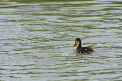 Les petits canards Images stock
