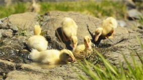 Les petits canards ont l'amusement un jour ensoleillé par le courant clips vidéos