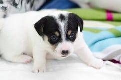 Les petits chiens blancs nouveau-nés de terrier de Russell de cric jouent sur une couverture colorée Photos libres de droits