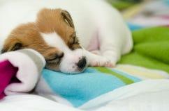 Les petits chiens blancs nouveau-nés de terrier de Russell de cric jouent sur une couverture colorée Photographie stock
