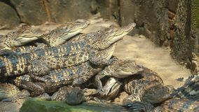 Les petits crocodiles se dorent au soleil banque de vidéos