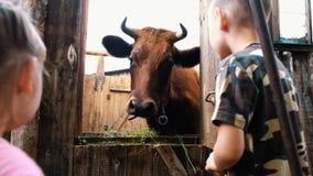 Les petits enfants regardent une vache à cornes se tenant dans une stalle à une ferme clips vidéos