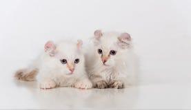 Les petits et jeunes chats américains tristes blancs lumineux de boucle couplent se reposer sur la table blanche Fond blanc Photo stock