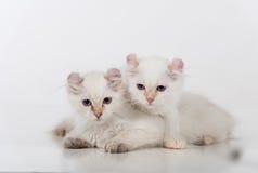 Les petits et jeunes chats américains tristes blancs lumineux de boucle couplent se reposer sur la table blanche Fond blanc Image libre de droits