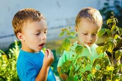 Les petits garçons jumeaux adorables mange des framboises Images libres de droits