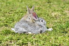 Les petits lapins se reposant dehors au printemps Images libres de droits