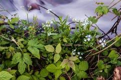 Les petits myosotis des marais bleus fleurit sur le bord de mer, parmi les orties cuisantes et l'herbe verte, en bel automne DA Image stock