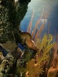 Les petits poissons de mer d'hippocampe aiment le corail Image libre de droits