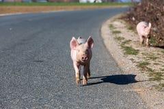 Les petits porcs traversent la route Images stock