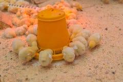 Les petits poulets jaunes mangent à la ferme photo stock