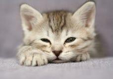 Les petits sommeils gris de chaton Photographie stock libre de droits
