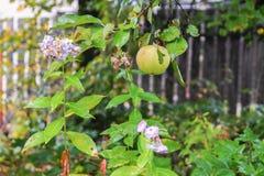 Les phlox mûrs de pomme et d'effacement en automne font du jardinage Photo libre de droits
