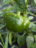 les photos d'isolement vertes également de coupage de poivrons de chemin voient le blanc semblable Photographie stock