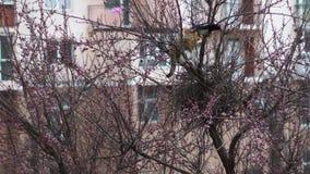 Les pies protègent leur nid contre le chat Les oiseaux attaquent le chat Le chat a grimpé à un arbre pour entrer dans le nid banque de vidéos