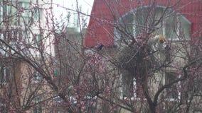 Les pies prot?gent leur nid contre le chat Les oiseaux attaquent le chat Le chat a grimp? ? un arbre pour entrer dans le nid banque de vidéos