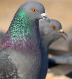 Les pigeons Photo stock