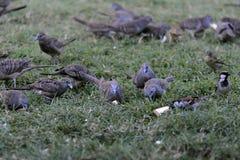 Les pigeons Image libre de droits