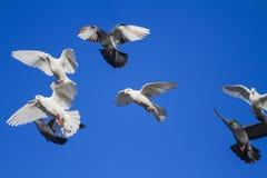 Les pigeons de courrier volent sur un ciel bleu Photographie stock libre de droits