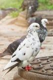 Les pigeons de Motley se repose sur la barrière sur la rue Photos stock