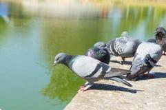 Les pigeons en parc Photo stock