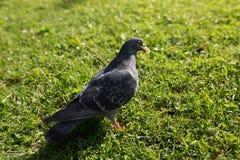 Les pigeons en parc Photographie stock