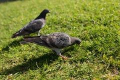 Les pigeons en parc Images stock