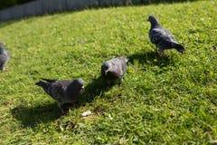Les pigeons en parc Photos libres de droits