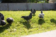 Les pigeons en parc Images libres de droits