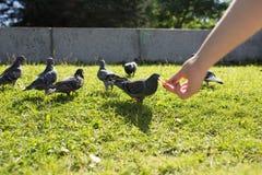 Les pigeons en parc Photo libre de droits