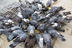 Les pigeons mangent Photos stock