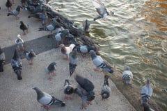 Les pigeons mangent de la nourriture photos libres de droits