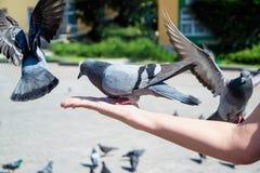 Les pigeons mangent des graines de tournesol Image stock