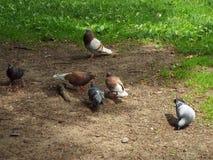 Les pigeons marchent le long des chemins en parc de ville et des graines de picoter images libres de droits
