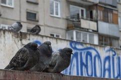 Les pigeons ont obtenu imbibés sous la pluie et sués Photographie stock libre de droits