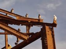 Les pigeons postaux blancs et gris se reposent sur des faisceaux en métal sur le fond de ciel bleu Photos stock