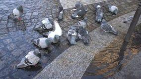 Les pigeons se baignent à Paris banque de vidéos
