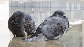 Les pigeons se baignent dans une piscine ensemble Photographie stock libre de droits